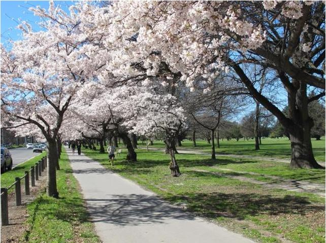 Blossoms are beautiful in Christchurch's Hagley Park in Spring.